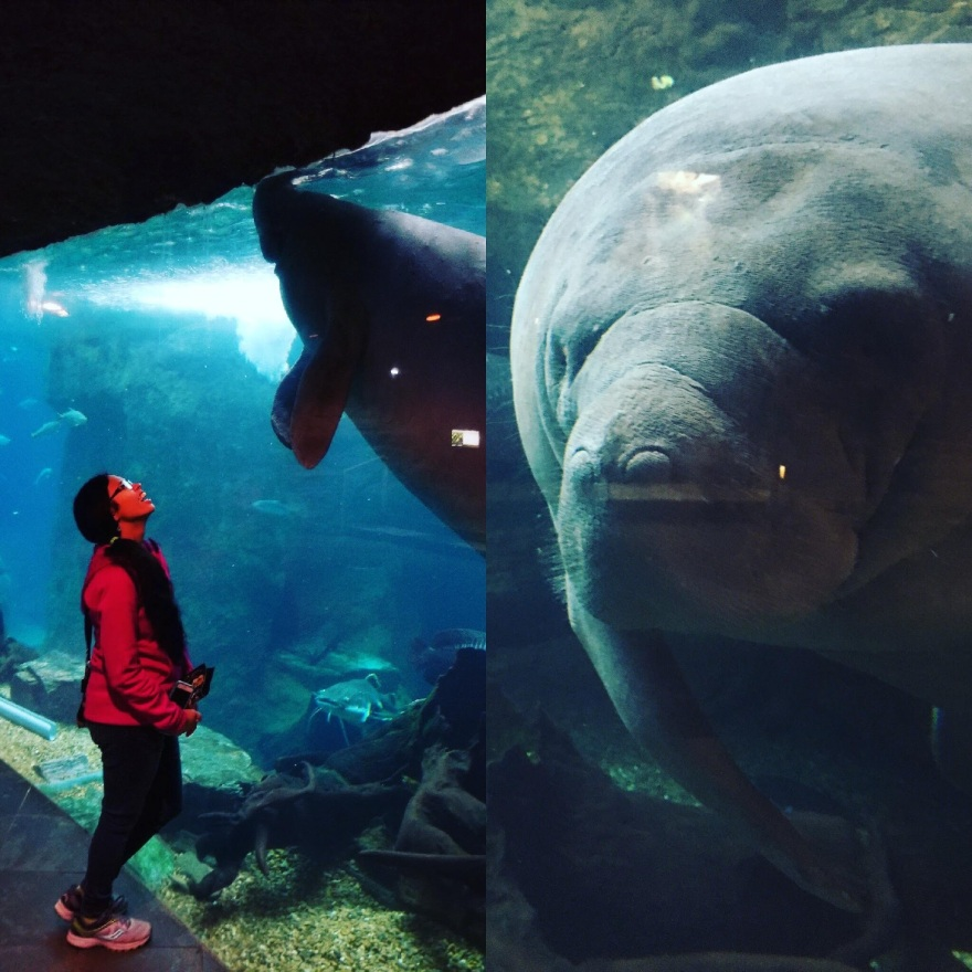 Beckie stares in wonder at a manatee. The manatee has large and soulful eyes.