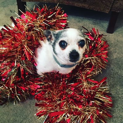 Tinkerbell is a white chihuahua. She sits on sparkly Christmas garland.