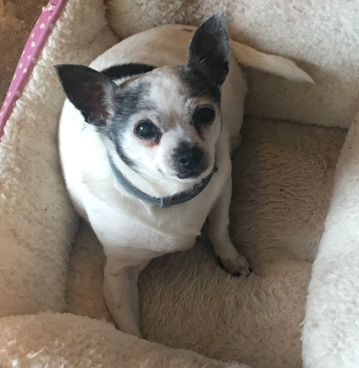 Tinkerbell is a small round chihuahua with black and white fur