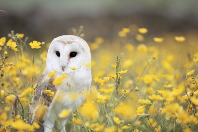 A white barn owl sits in a field of yellow flowers