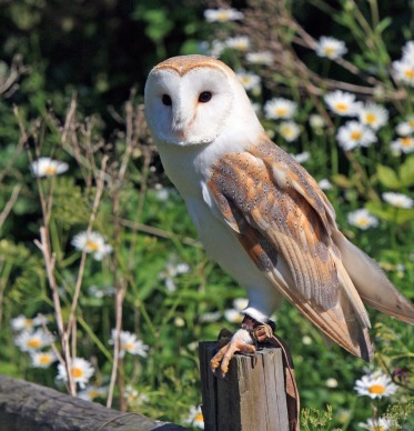 A barn owl sits on a fence post
