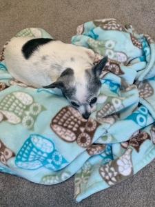 A black and white chihuahua takes a nap
