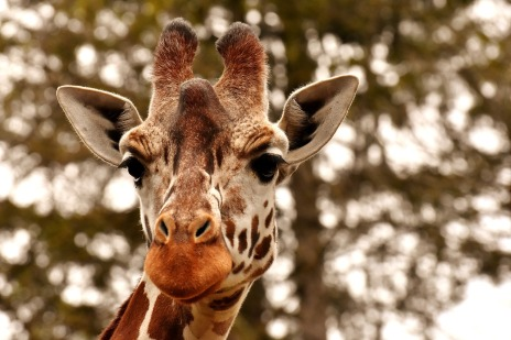 A photograph of a giraffe. It has spots and a long neck
