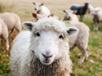 sheep cco