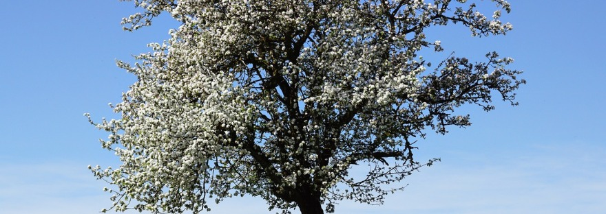 An apple tree in full bloom