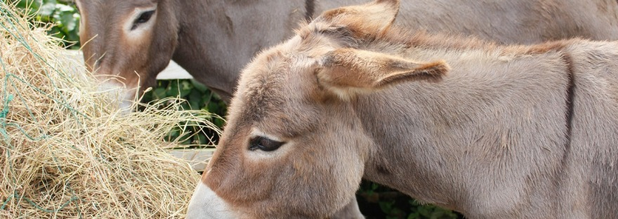 donkeys eat hay from a manger